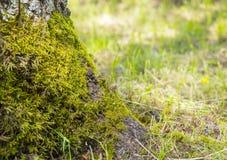 Árbol de abedul blanco en musgo en el fondo de la hierba verde Fotos de archivo