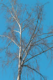 Árbol de abedul blanco hermoso Imagen de archivo libre de regalías