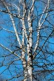Árbol de abedul blanco hermoso Imágenes de archivo libres de regalías