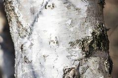 Árbol de abedul blanco de la corteza en una composición Foto de archivo libre de regalías