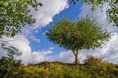 Árbol de abedul blanco rodeado y guardado por las hojas de otros árboles Imagen de archivo libre de regalías