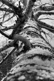Árbol de abedul blanco y negro Imagenes de archivo