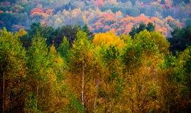 Árbol de abedul, bosque del otoño Imagenes de archivo