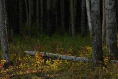 Árbol de abedul caido Imágenes de archivo libres de regalías