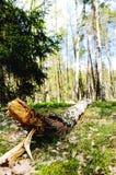 Árbol de abedul caido en bosque Fotos de archivo