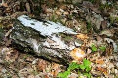 Árbol de abedul caido en bosque Imagenes de archivo