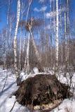 Árbol de abedul caido en bosque del invierno Imágenes de archivo libres de regalías