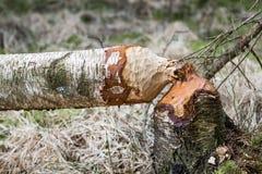 Árbol de abedul caido en el bosque roído por los castores Fotos de archivo