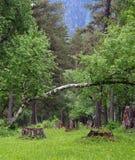 Árbol de abedul caido en un bosque. Foto de archivo