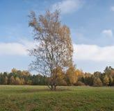 Árbol de abedul colorido aislado en prado con el bosque colorido en el fondo Foto de archivo