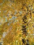 Árbol de abedul colorido del otoño, Lituania Fotografía de archivo libre de regalías