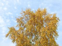 Árbol de abedul colorido en otoño Fotos de archivo