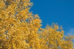 Árbol de abedul con caída amarilla verde de las hojas Foto de archivo