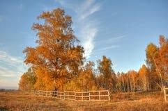 Árbol de abedul con el cielo azul, Imagenes de archivo