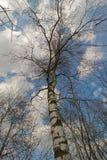 Árbol de abedul con el cielo azul y las nubes Foto de archivo libre de regalías