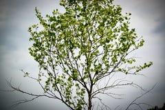 Árbol de abedul con el cielo tempestuoso en el fondo, ilustración Foto de archivo