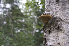 Árbol de abedul con el hongo marrón Foto de archivo