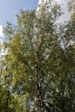 Árbol de abedul con follaje verde Imágenes de archivo libres de regalías