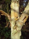 Árbol de abedul con la corteza de la peladura Fotos de archivo libres de regalías