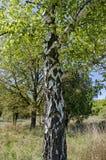 Árbol de abedul con la grieta grande en corteza, Fotos de archivo