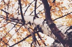 Árbol de abedul con las hojas de oro de la caída Foto de archivo