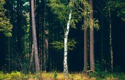 Árbol de abedul con las hojas de otoño amarillas contra bosque oscuro del pino Imagenes de archivo