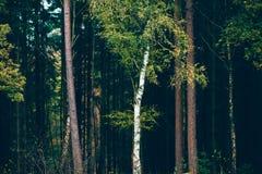 Árbol de abedul con las hojas de otoño amarillas contra el árbol de pino oscuro delantero Fotografía de archivo