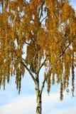 Árbol de abedul con las hojas del amarillo contra Autumn Blue Sky por Maria_R Fotos de archivo