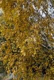 Árbol de abedul con las hojas del amarillo del otoño Foto de archivo