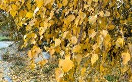 Árbol de abedul con las hojas del amarillo del otoño Fotografía de archivo libre de regalías