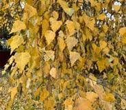 Árbol de abedul con las hojas del amarillo del otoño Fotos de archivo libres de regalías