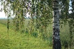 Árbol de abedul con las hojas del verde y el trigo verde en fondo Imagen de archivo