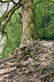 Árbol de abedul con las raíces dramáticas Fotografía de archivo libre de regalías