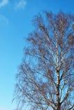 Árbol de abedul con las ramas desnudas en fondo azul del cielo del invierno Imágenes de archivo libres de regalías