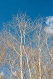 Árbol de abedul con las ramas en el cielo azul en Sunny Day Imagen de archivo libre de regalías