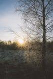Árbol de abedul congelado contra el sol poniente Imagen de archivo libre de regalías
