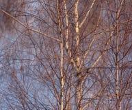 Árbol de abedul congelado en la luz de la salida del sol Imagenes de archivo