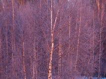 Árbol de abedul congelado en la luz de la salida del sol Foto de archivo libre de regalías