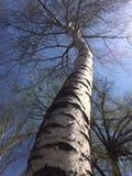 Árbol de abedul contra el cielo azul Imágenes de archivo libres de regalías