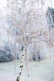 Árbol de abedul cubierto con helada Fotografía de archivo