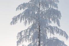 Árbol de abedul cubierto en nieve Imagenes de archivo