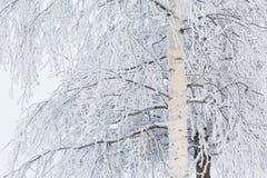 Árbol de abedul cubierto en nieve Imagen de archivo