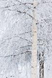 Árbol de abedul cubierto en nieve Fotos de archivo
