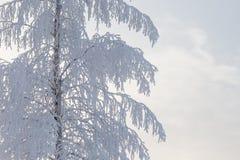 Árbol de abedul cubierto en nieve Fotos de archivo libres de regalías