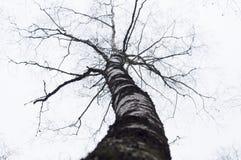 Árbol de abedul de la curva sin las hojas Fotografía de archivo