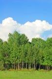 Árbol de abedul de la primavera Imagen de archivo