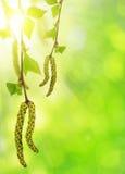 Árbol de abedul de la rama de la primavera Imágenes de archivo libres de regalías