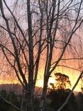 Árbol de abedul de la salida del sol de la madrugada Imagenes de archivo