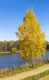 Árbol de abedul de oro, otoño Fotos de archivo libres de regalías