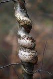 Árbol de abedul de plata Fotos de archivo